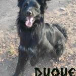 Machos en adopción duque
